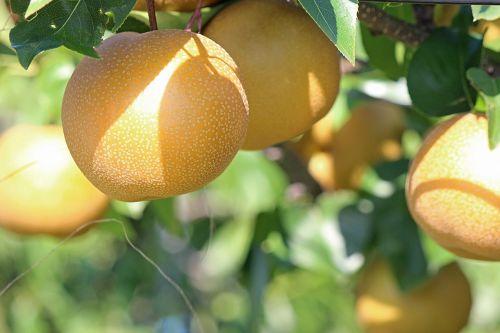 pear no none