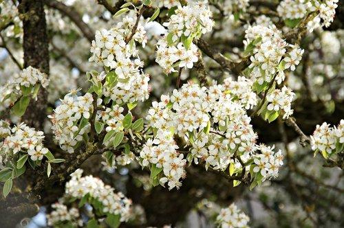 pear  pear tree  flower