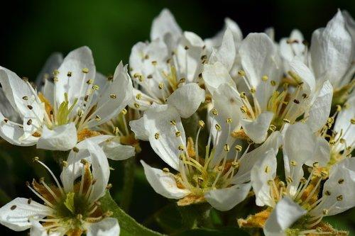 pear  birnblüte  spring