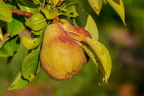 pear  immature  fruit