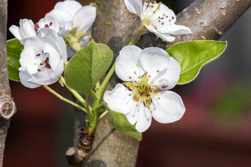 pear  pear tree  körtefák