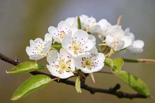 pear  blossom  bloom
