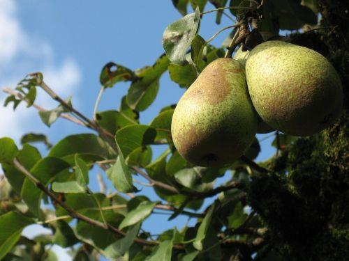 pear pear tree fruit