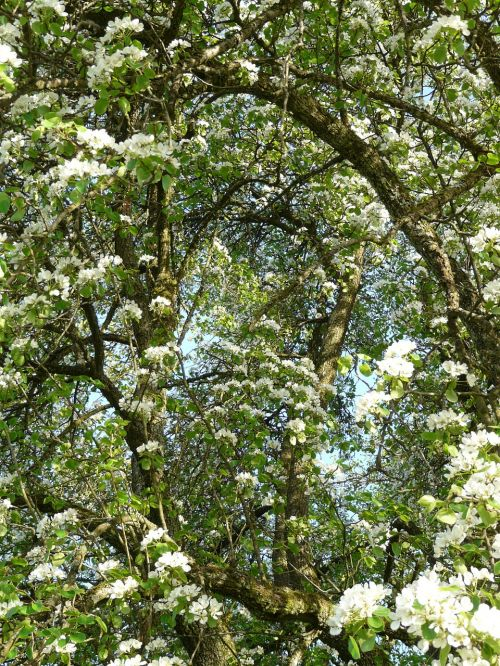 pear flowers white