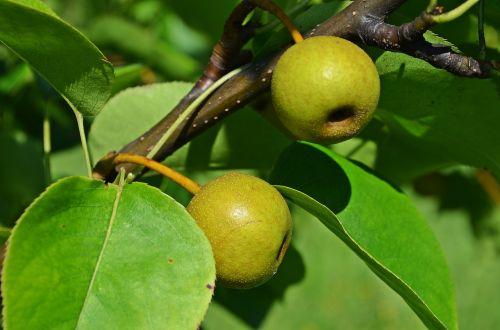 pear asian pear tree