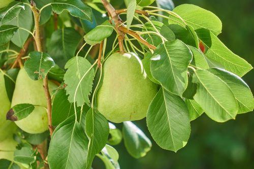 pear fruit nature