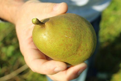 kriaušė,ranka,vaisiai,vyras,gamta,ruduo,pasiimti,Žemdirbystė,skanus,valgyti,frisch,vitaminai,sveikas,saldus,paimtas,prinokę,sultingas,maistas,derlius,kriaušių derlius,derlius,geltona