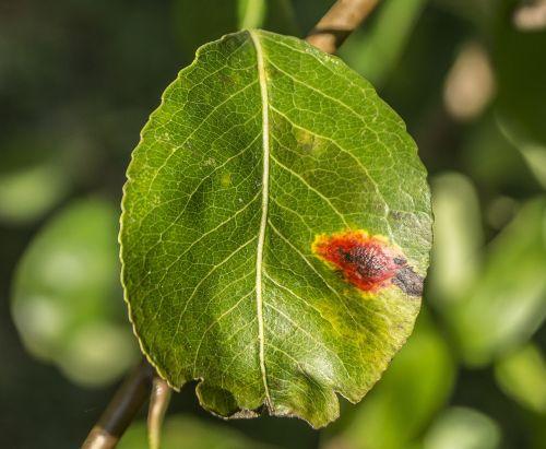 pear leaf mushroom