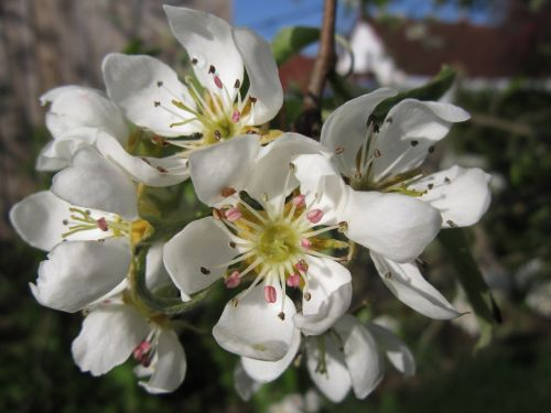 pear blossom,fruit tree,spring,blossom,blossom,bloom,white,pears,nature,pear