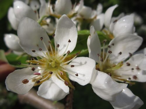 pear blossom,pear,blossom,bloom,spring,nature,blossom,inflorescence,white,close,flowering twig,fruit tree,dew,drop of water