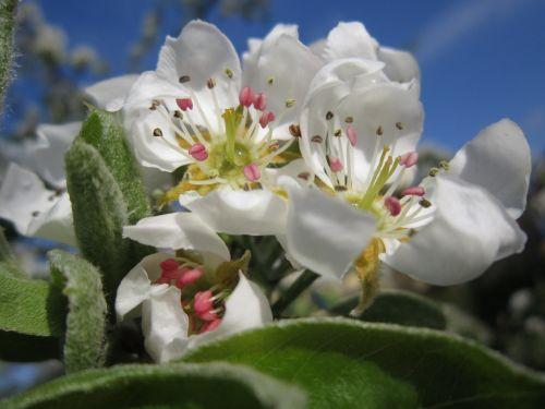 pear blossom pear nature