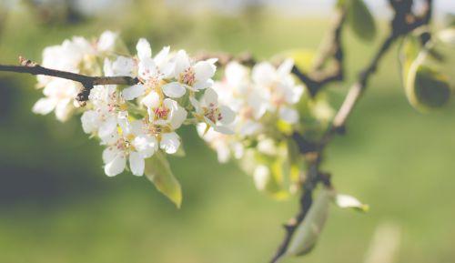 pear blossom bloom pear