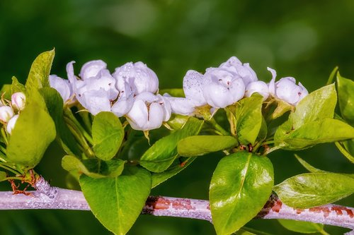 pear blossom  spring  tree