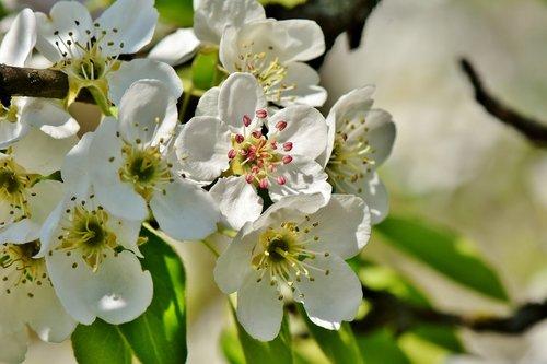 pear blossom  pear  blossom