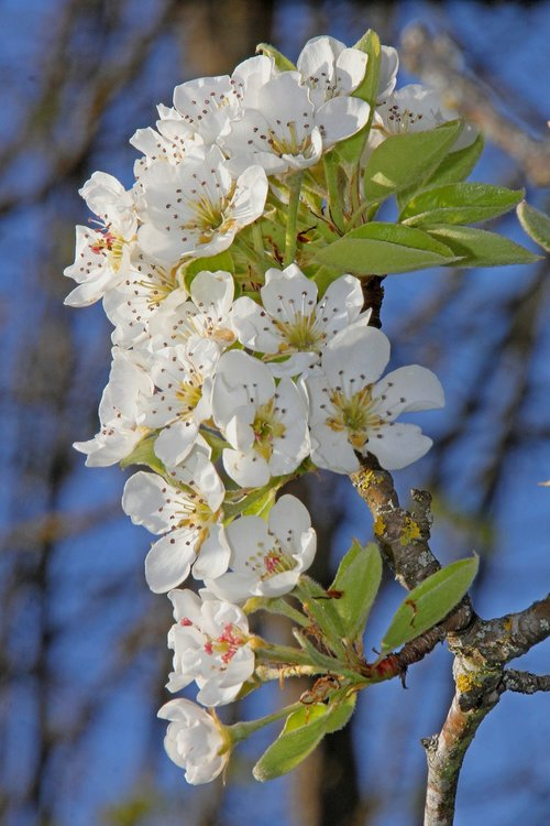 pear blossom  pear  branch