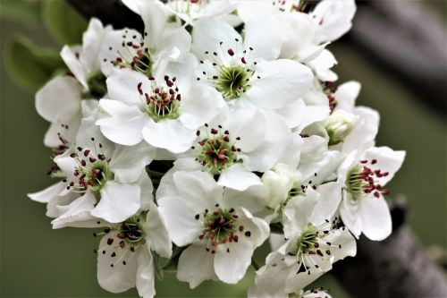 Pear Blossoms Close-up 2