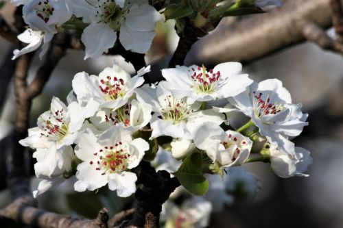 Pear Blossoms Close-up