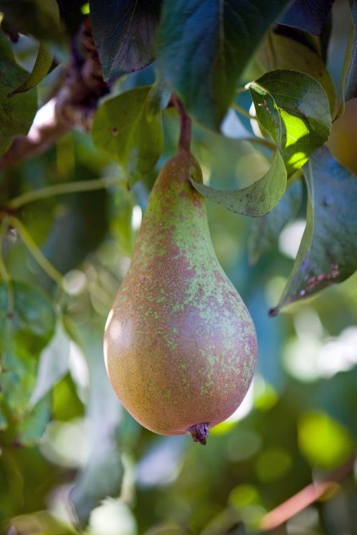 Pear On Tree