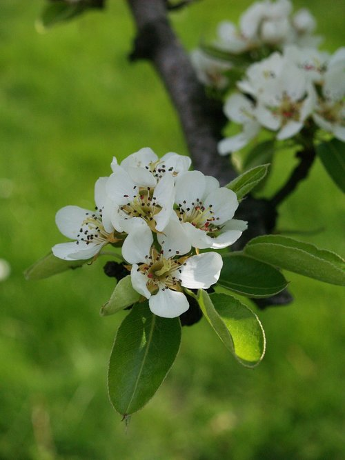 pear tree  tree  spring