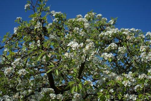 pear tree  pear blossom  spring