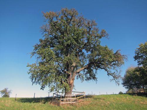 pear tree albstadt fruit tree