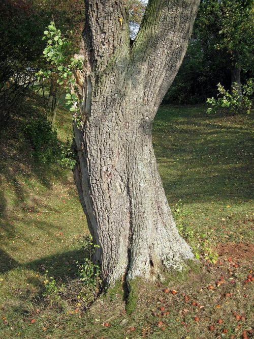 pear tree dingolshausen fruit tree