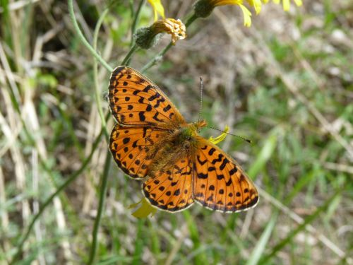 pearl-bordered fritillary butterfly insect