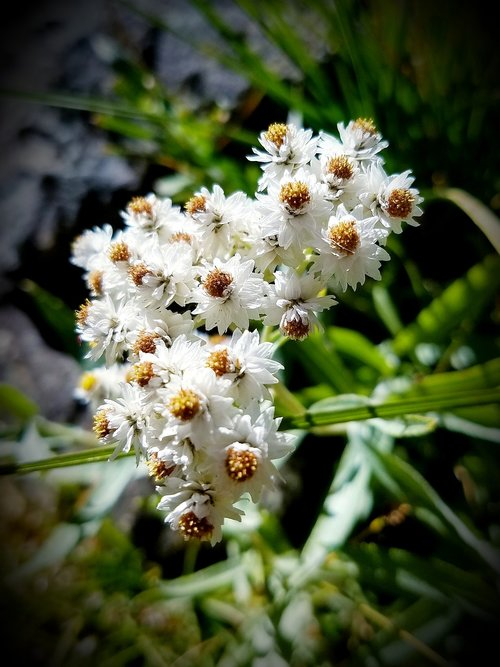 pearly everlasting  white flowers  feverfew