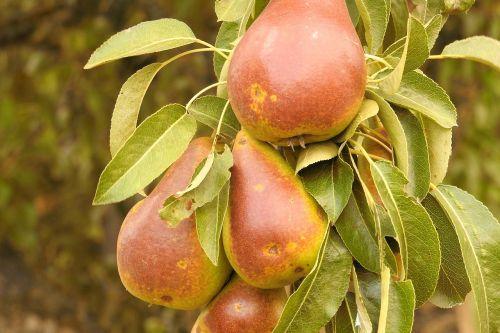 pears pear branch