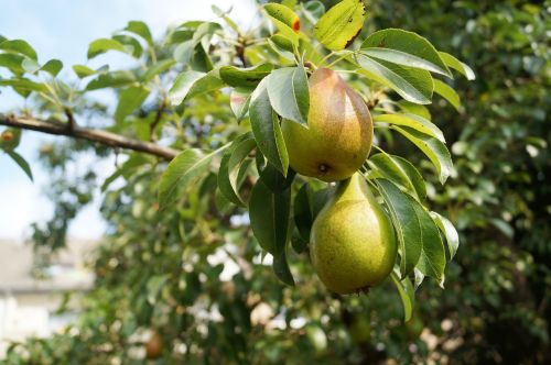 pears fruit pear tree