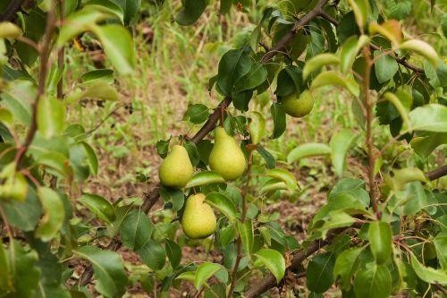 pears harvest vegetable garden