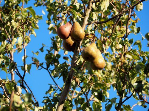 pears pear fruit
