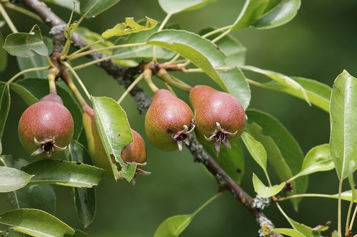 pears  pyrus  young
