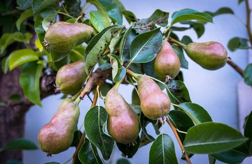 pears  tree shrub  garden
