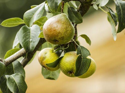 pears  fruit  food