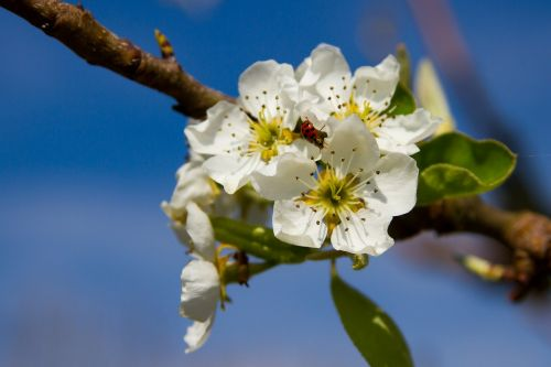pears blossom bloom