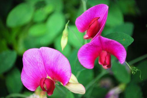 peas flowers mauve