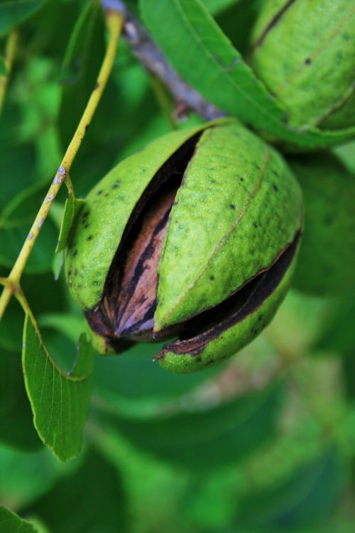 Pecan Nut In The Hull