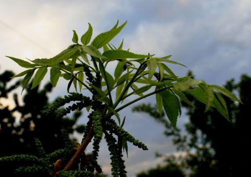 Pecan Nut Leaves