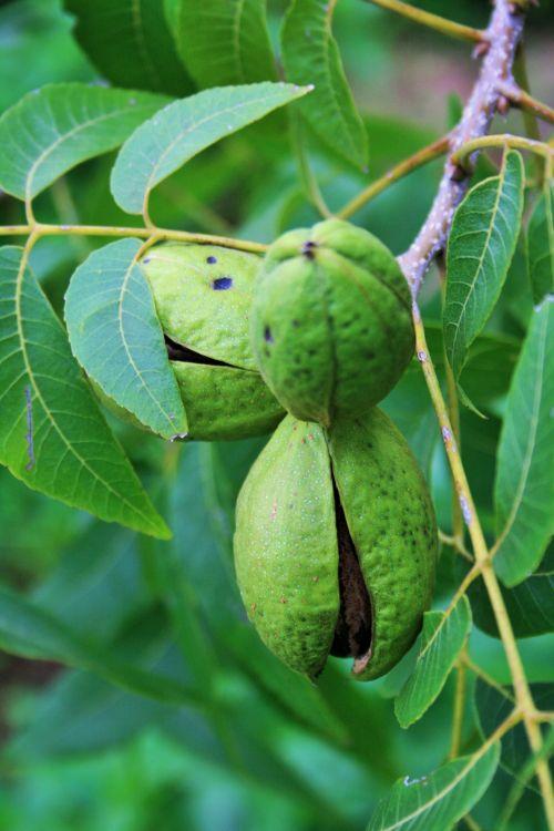 Pecan Nut Partially Open