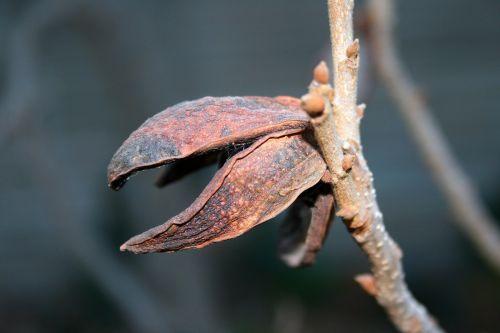 Pecan Nut Shell Casing