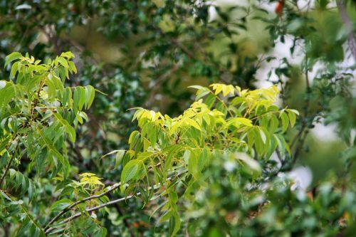 Pecan Nut Tree Leaf Clump