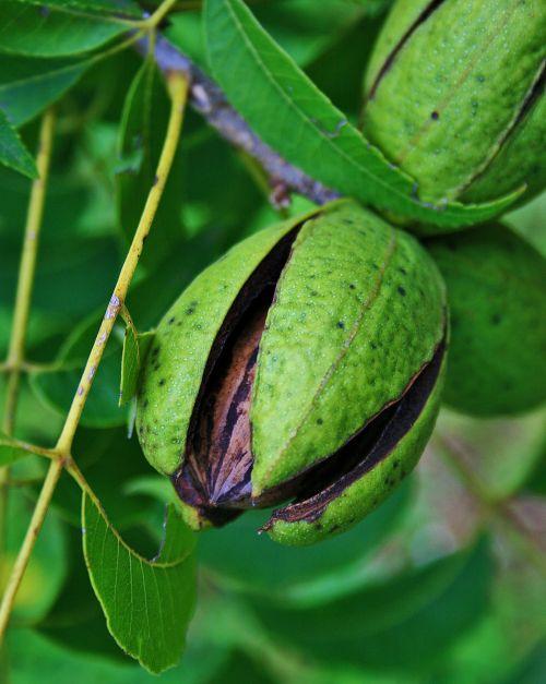Pecan Nut With Opening Husk