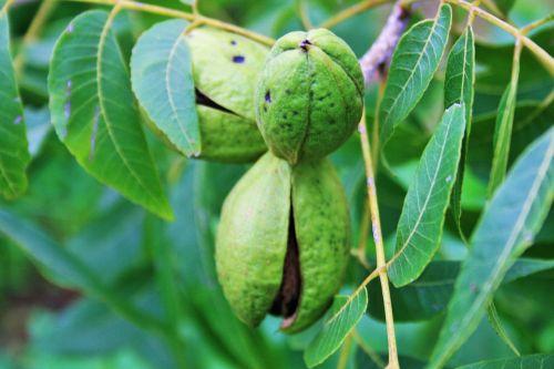 Pecan Nuts Opening