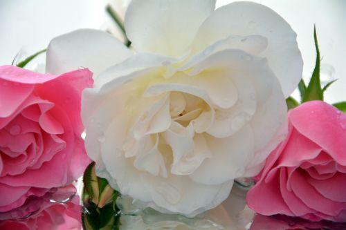 pedalai,ledkalniai,rožės,aromatingas