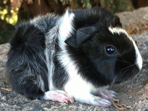 pedigree guinea pig sheba