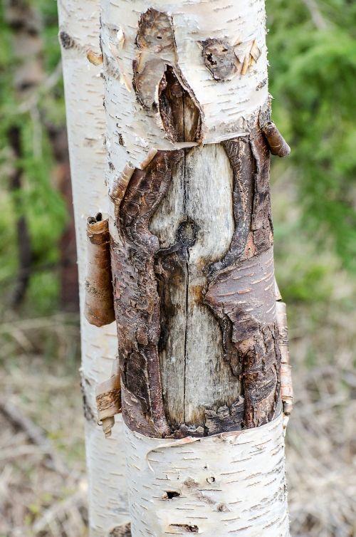 lupimasis žievė,medis,bagažinė,berželiai,žievė,miškas,kritimas,tekstūra,ruda,žievelės,natūralus,gamta,lupimasis