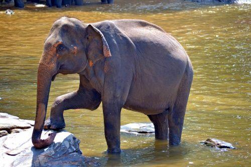 pegnent elephant elephant mom elephant