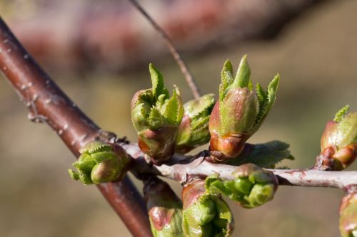 Bursting Buds Of The Cherry