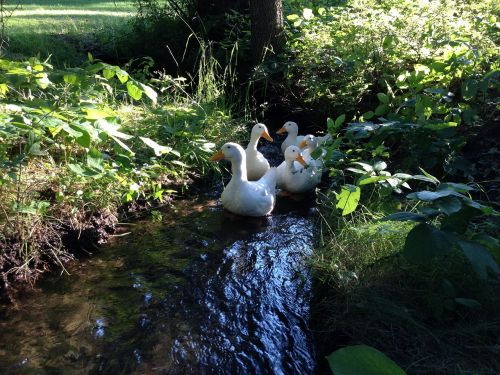 peking ducks ducks poultry